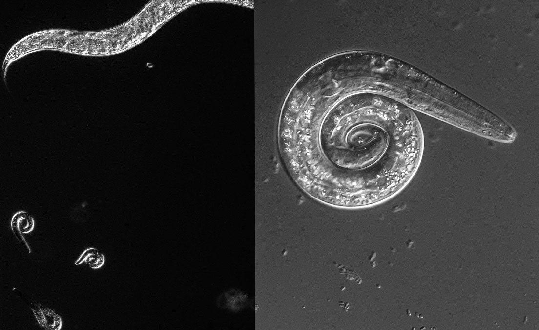 C-elegans worms