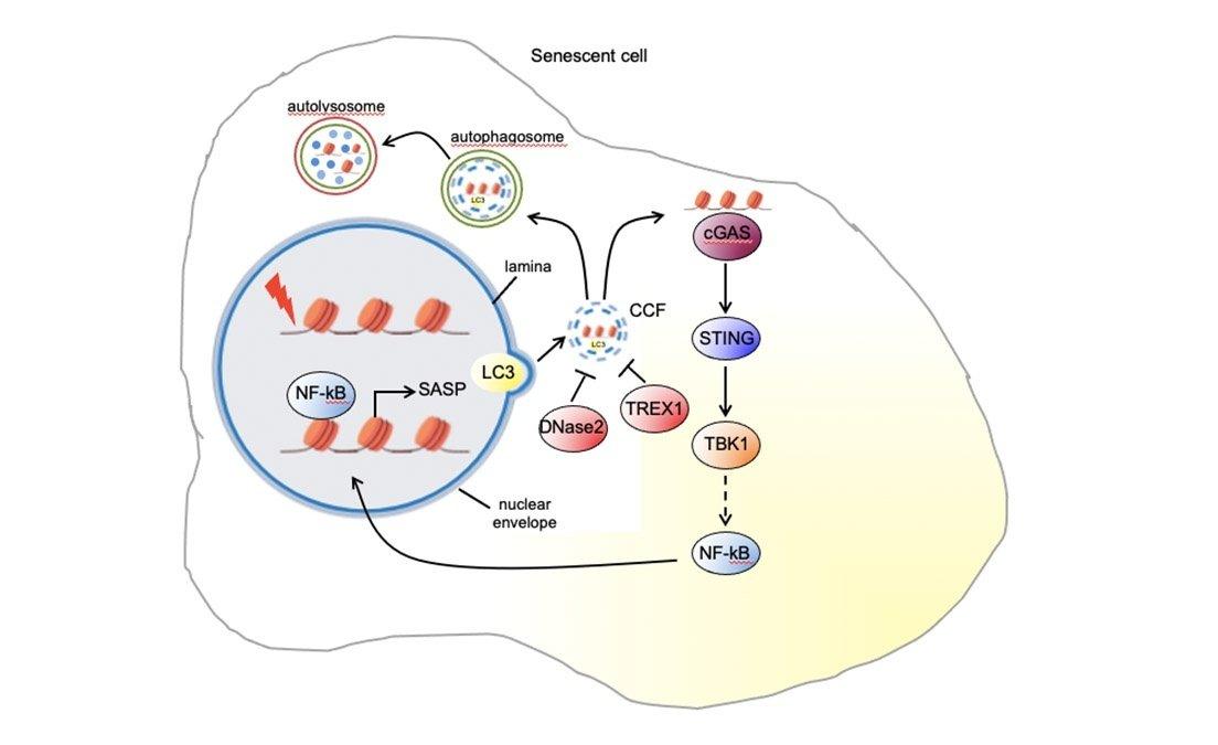 Senescent cell