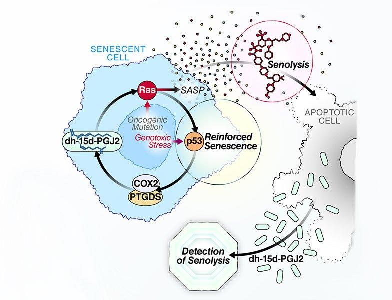 Senolytic cell