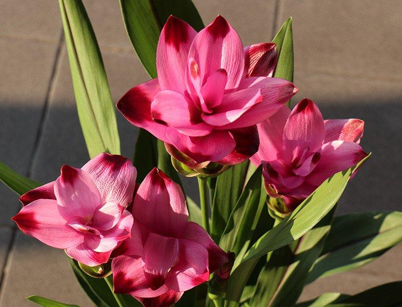 Turmeric flower